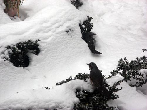 雪降る前のヒヨドリ-2