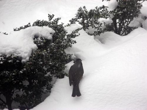 雪降る前のヒヨドリ-3