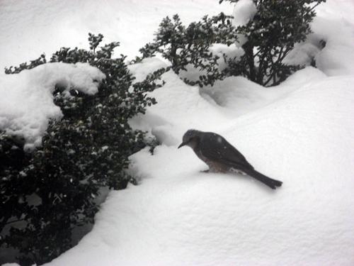 雪降る前のヒヨドリ-4