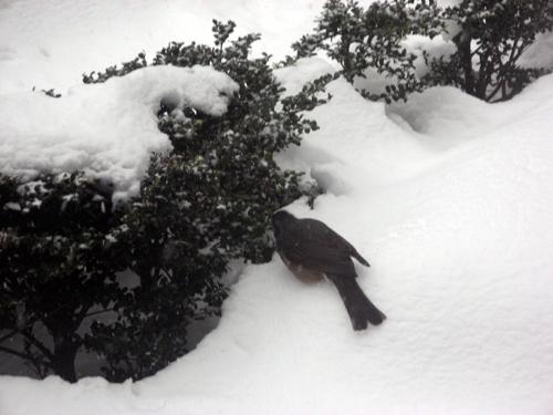 雪降る前のヒヨドリ-5