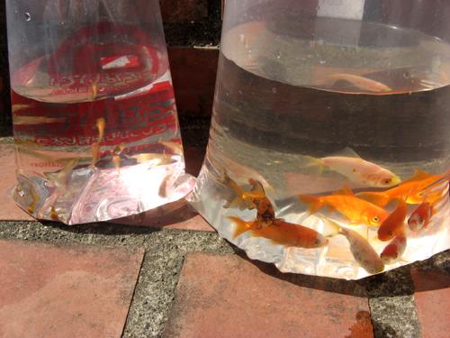 金魚&メダカ追加-1