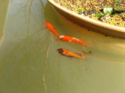 金魚&メダカ追加-5