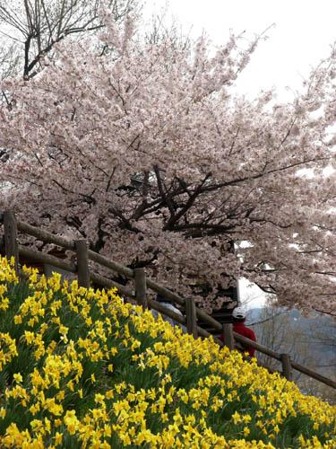 桜の季節-1
