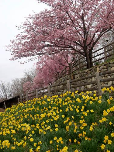 桜の季節-2