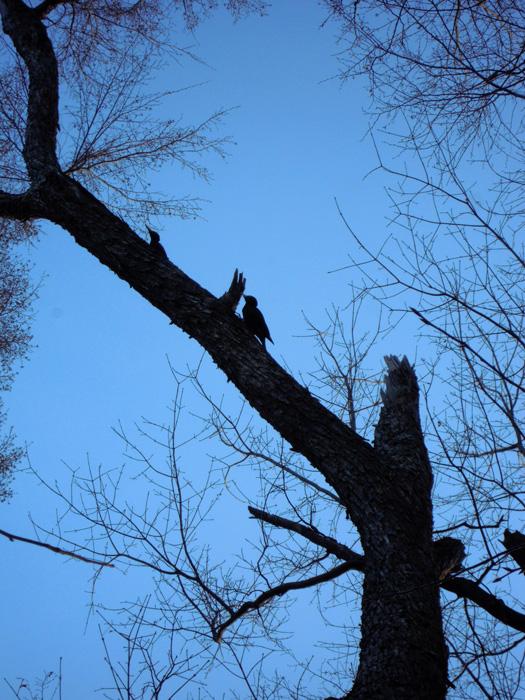 円山のクマゲラ。2匹。