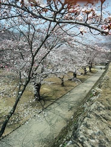 20140519先月の桜