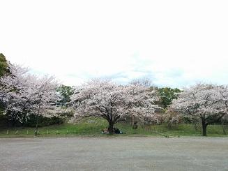 20140521桜3本