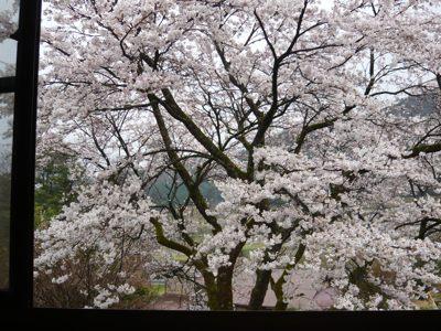 桜 窓から 260403