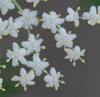 エルダーフラワー花