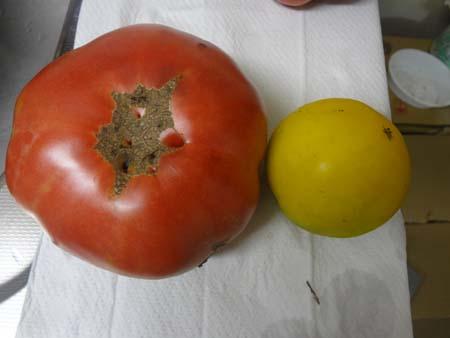 トマト比べ