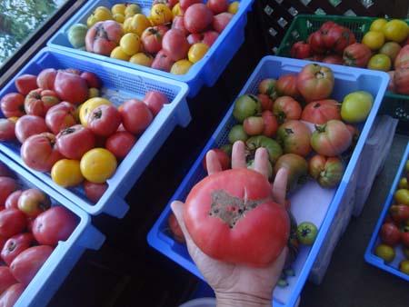 トマトいっぱい
