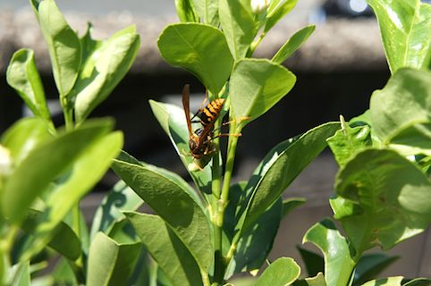 アシナガバチ1