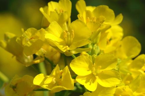 菜の花IMGP3087