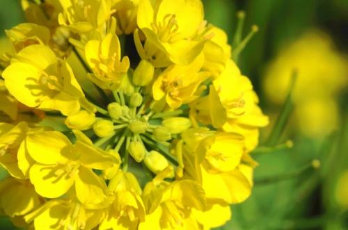 菜の花IMGP3089