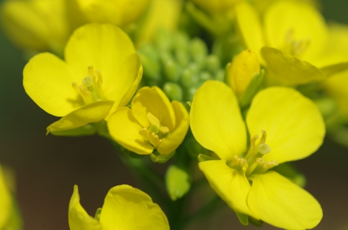 菜の花IMGP3096