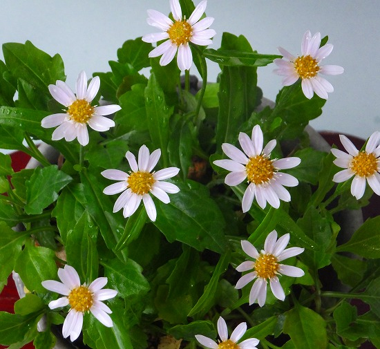 春寿菊H26年5月①