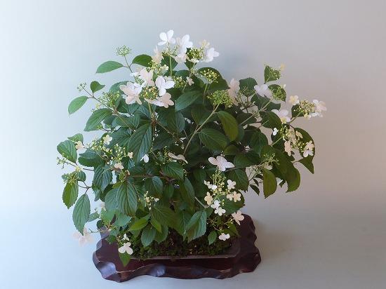 四季咲きヤブデマリh26年5月