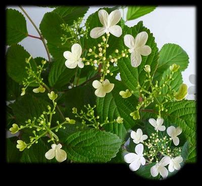 四季咲きヤブデマリH26年5月①