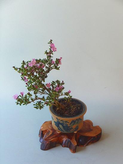 紫ハクチョウゲH26年5月