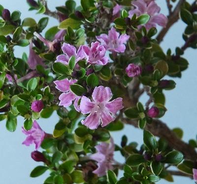 紫ハクチョウゲH26年5月①