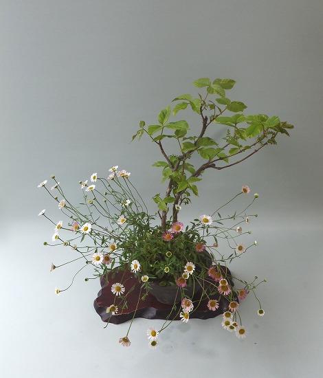 斑入ツタウルシ・源平小菊寄せ植えH26年5月