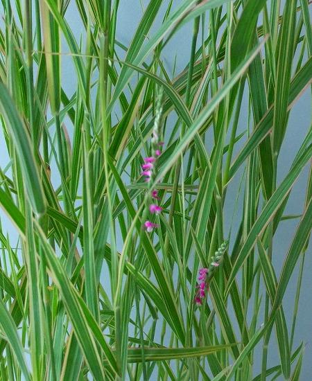 斑入り葦① H26年