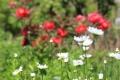 6月の花10