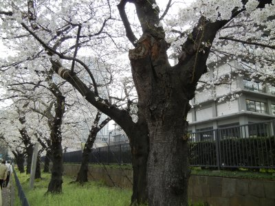 外務省の桜