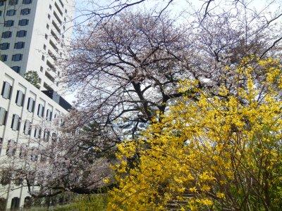 四ツ谷のレンギョと桜
