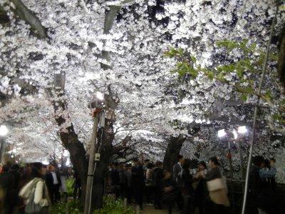 千鳥ヶ淵・夜桜見物の混雑