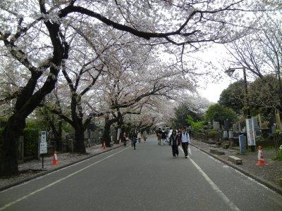 谷中霊園の桜並木a