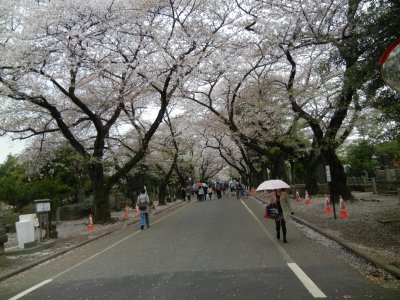 谷中霊園の桜並木b