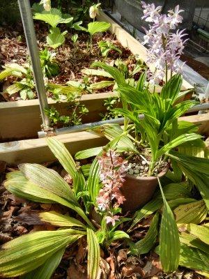 鉢植えと地植えコオズの比較