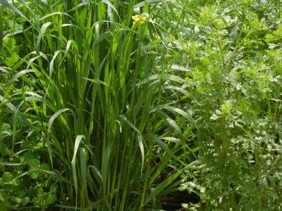 コリアンダー、緑肥のライ麦