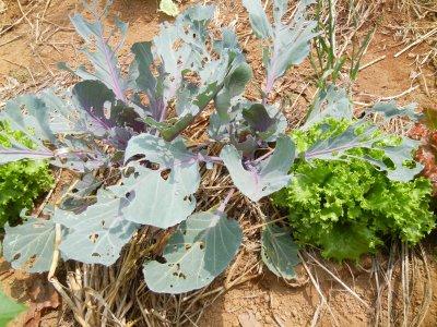 虫に食われた紫キャベツ