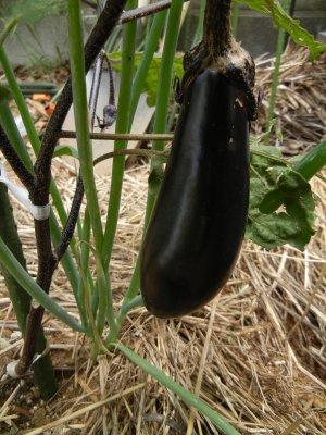 茄子の収穫