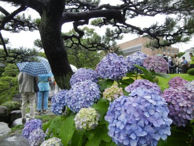 清澄庭園のアジサイ