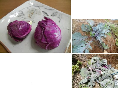 虫食い紫キャベツの処