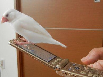 携帯と文鳥