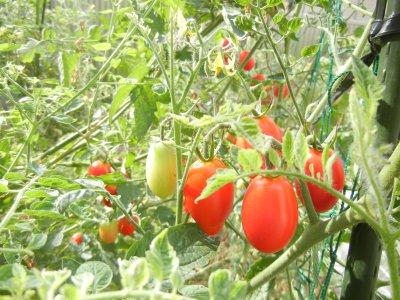 ミニトマト・畑