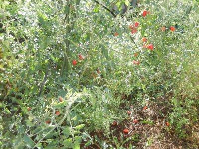 雨で、トマトの実が割れた