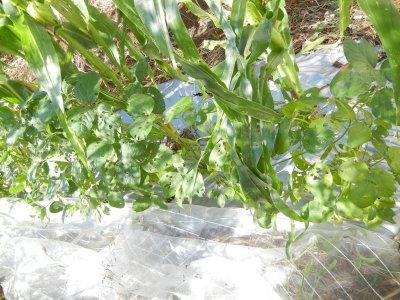 140902-007防虫ネットを外した東側の枝豆の列