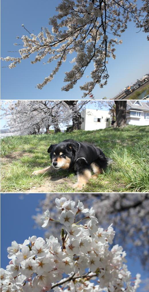 一目千本桜♪