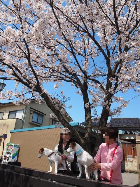P4129022 桜_convert_20140414124917