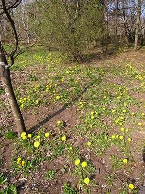 たんぽぽ咲いてます