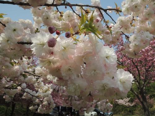 4月27日桜2