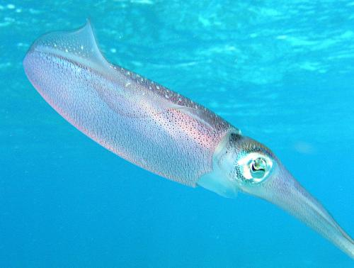 Caribbean_reef_squid.jpg