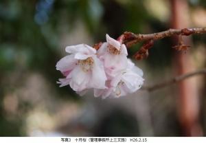 十月桜春咲き