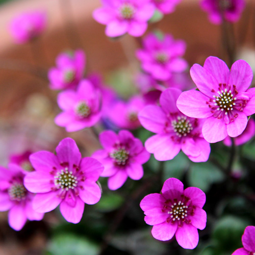 庭の花20140403 010