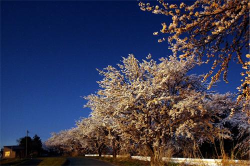 桜20140414 106